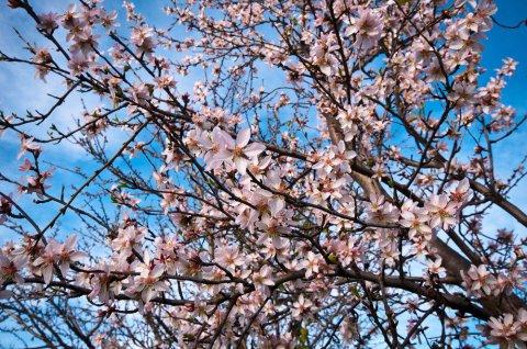 1455543428233.jpg--primavera__mandorlo_in_fiore